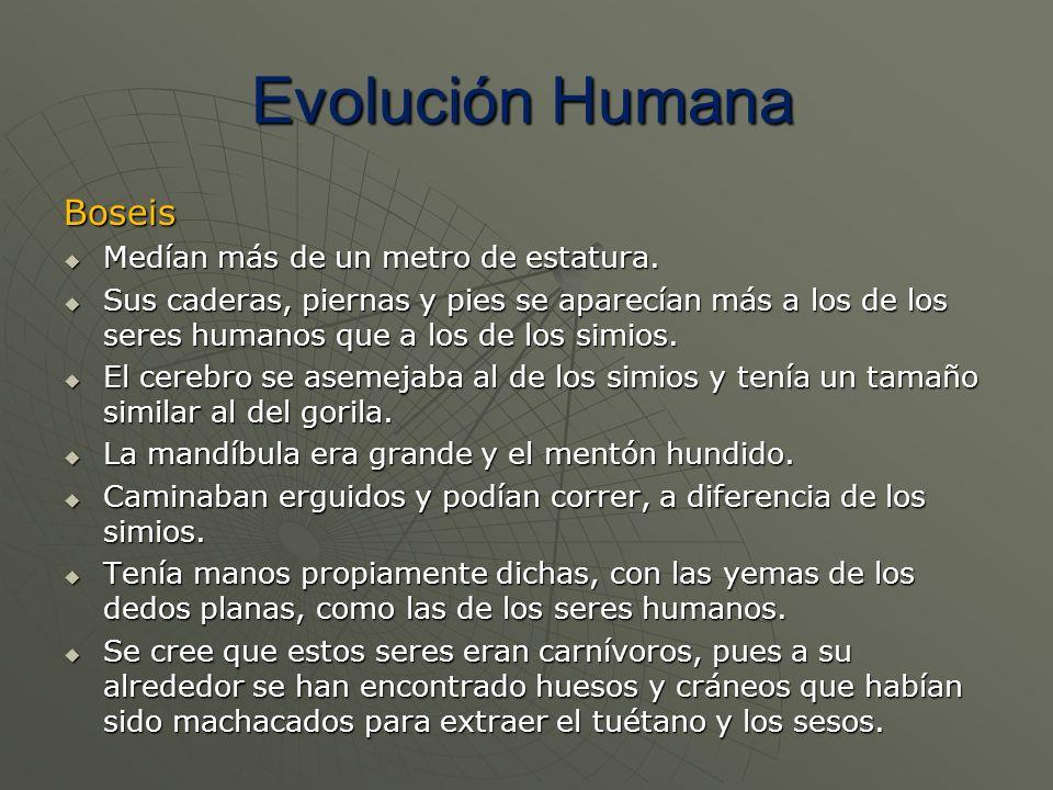 Evolución Humana Boseis Medían más de un metro de estatura.