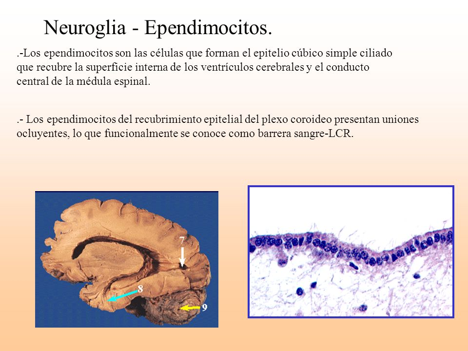 Neuroglia - Ependimocitos.