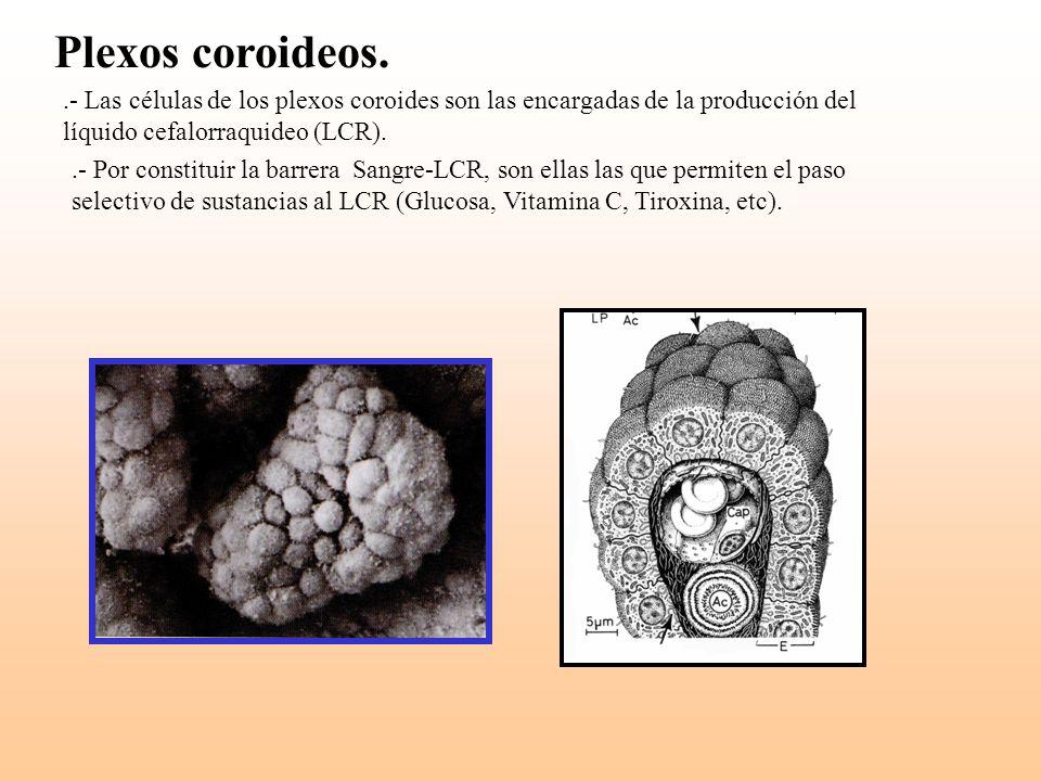 Plexos coroideos. .- Las células de los plexos coroides son las encargadas de la producción del líquido cefalorraquideo (LCR).