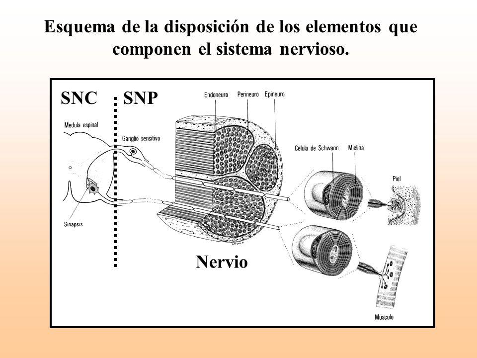 Esquema de la disposición de los elementos que componen el sistema nervioso.