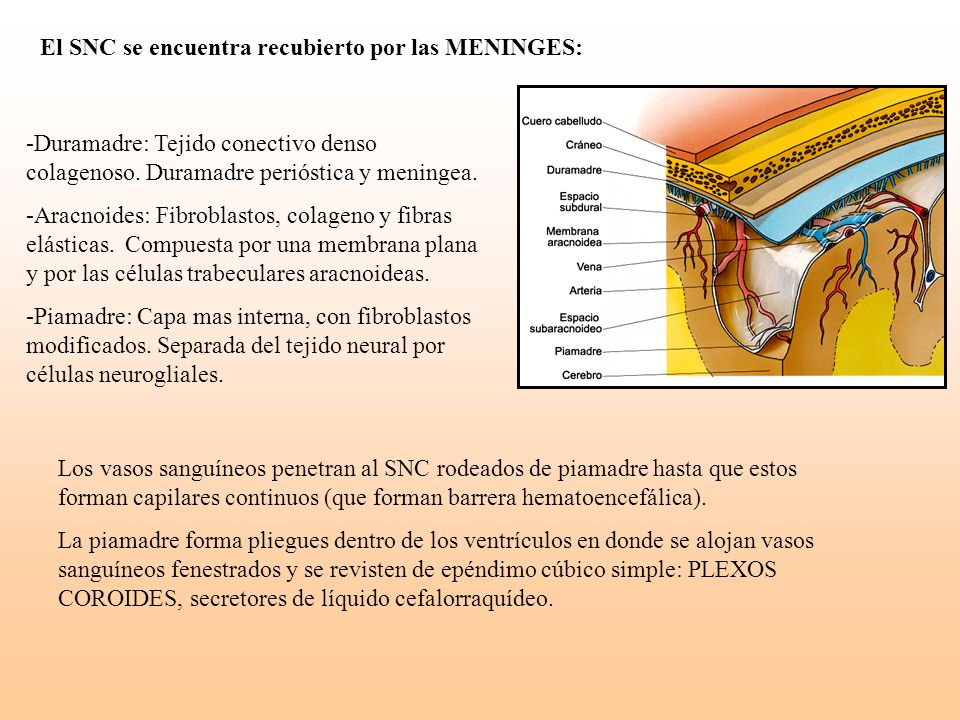 El SNC se encuentra recubierto por las MENINGES: