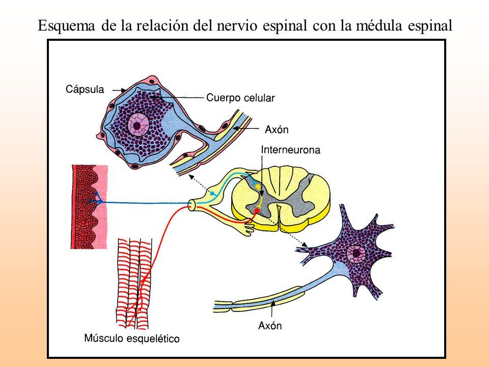 Esquema de la relación del nervio espinal con la médula espinal