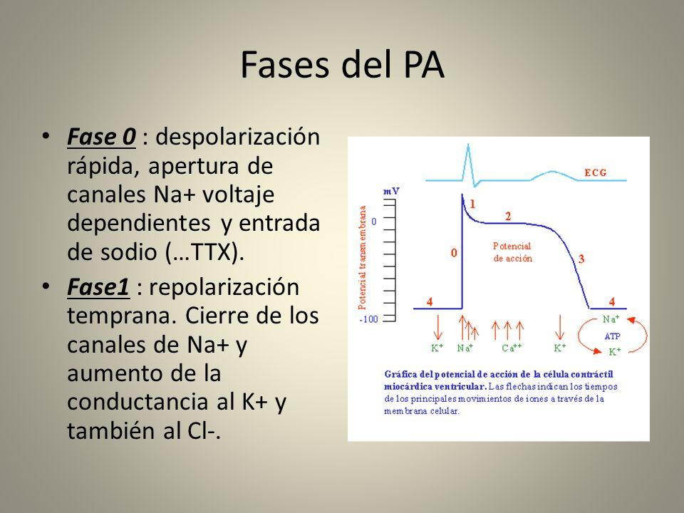 Fases del PA Fase 0 : despolarización rápida, apertura de canales Na+ voltaje dependientes y entrada de sodio (…TTX).