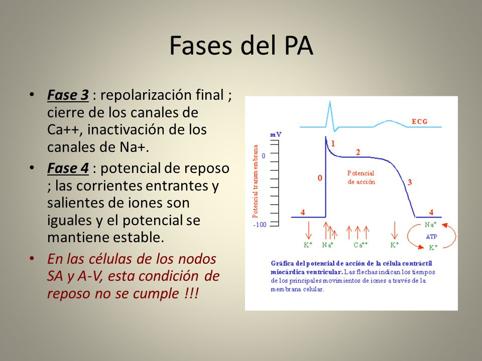 Fases del PAFase 3 : repolarización final ; cierre de los canales de Ca++, inactivación de los canales de Na+.
