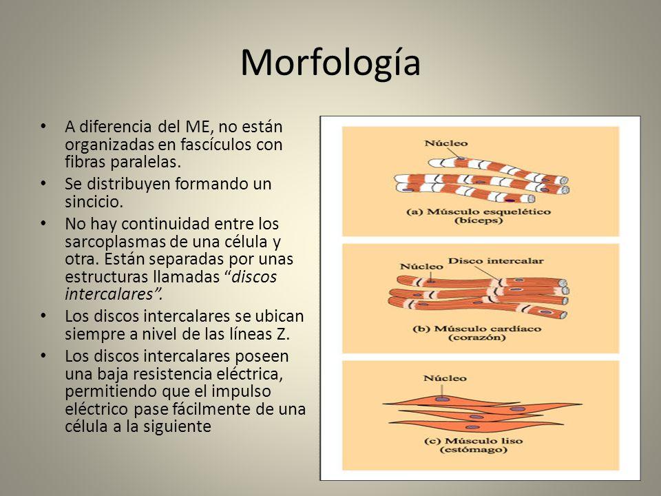 Morfología A diferencia del ME, no están organizadas en fascículos con fibras paralelas. Se distribuyen formando un sincicio.