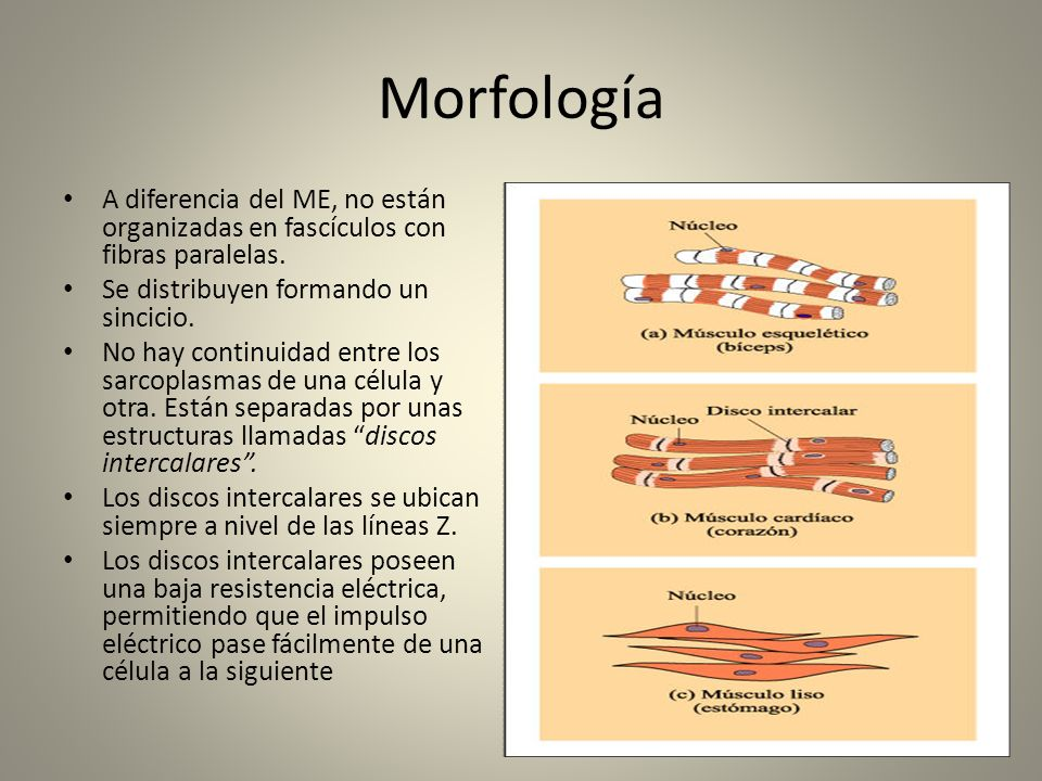 MorfologíaA diferencia del ME, no están organizadas en fascículos con fibras paralelas. Se distribuyen formando un sincicio.