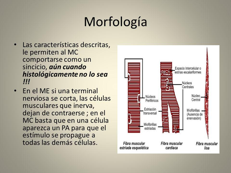 Morfología Las características descritas, le permiten al MC comportarse como un sincicio, aún cuando histológicamente no lo sea !!!