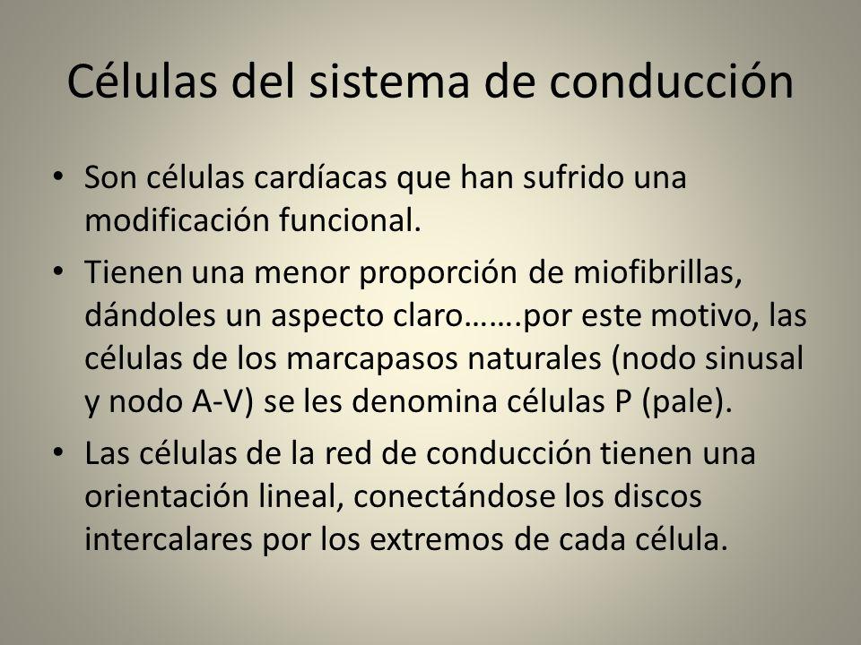 Células del sistema de conducción