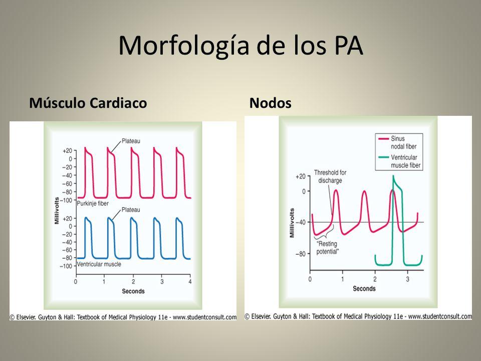 Morfología de los PA Músculo Cardiaco Nodos