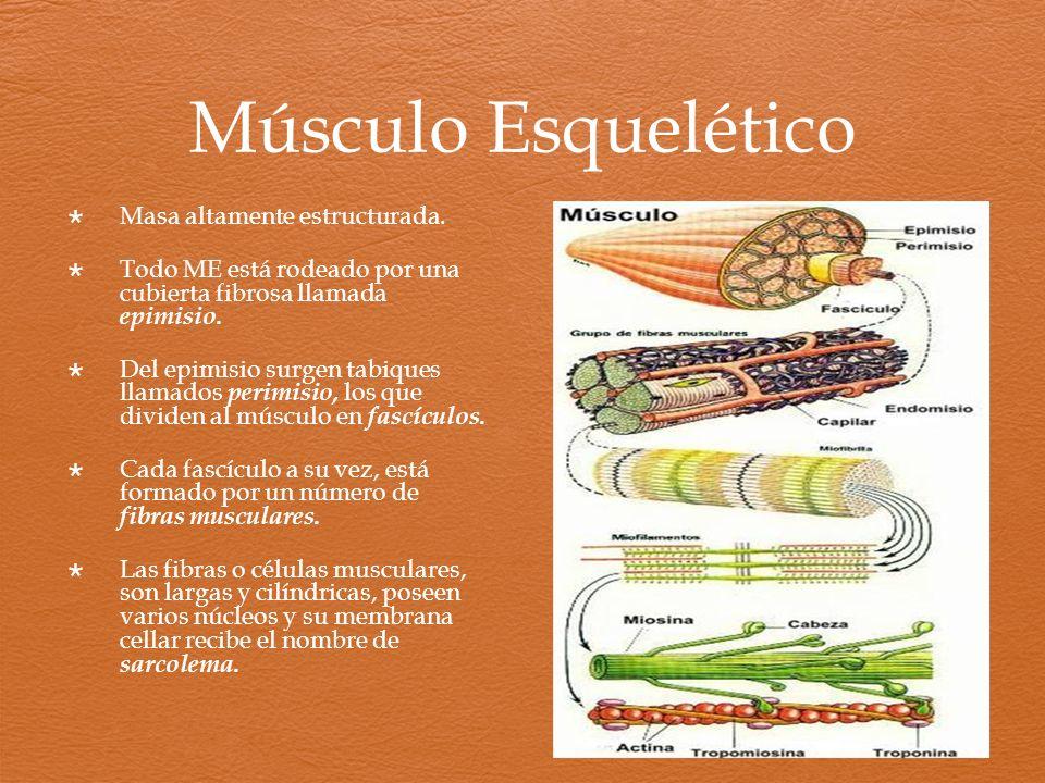 Músculo Esquelético Masa altamente estructurada.