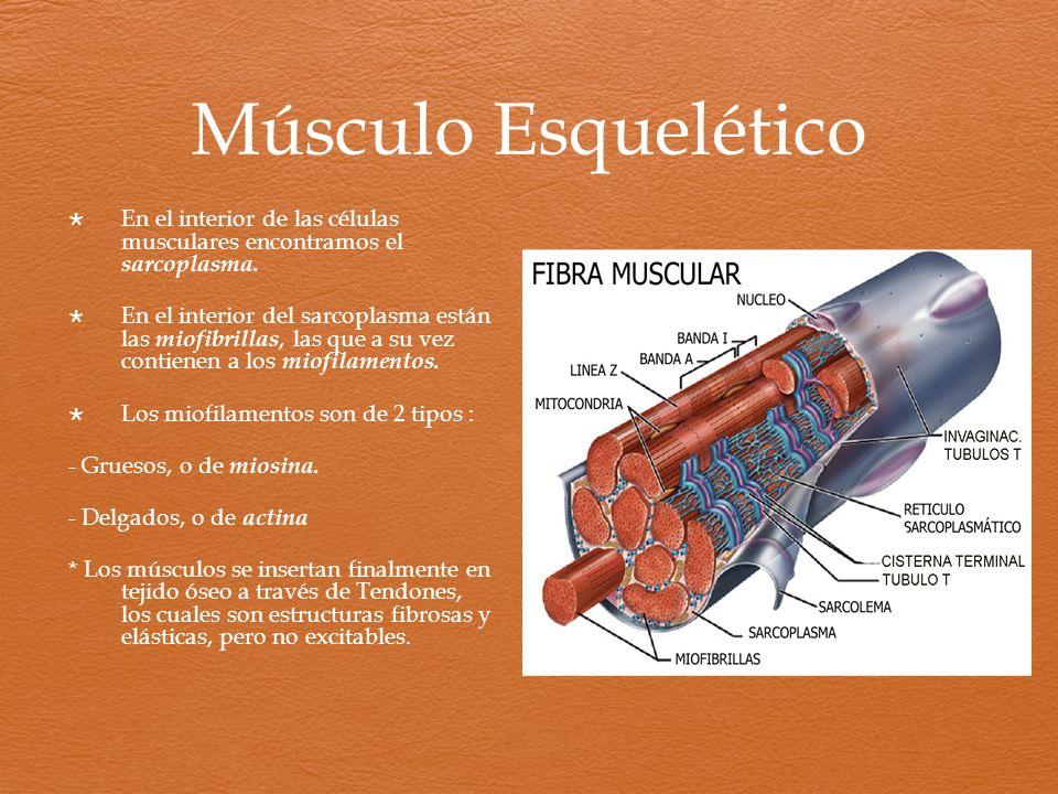 Músculo Esquelético En el interior de las células musculares encontramos el sarcoplasma.