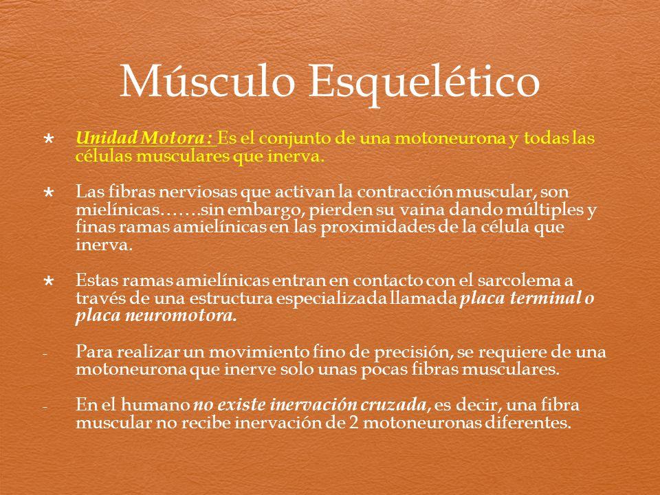 Músculo Esquelético Unidad Motora : Es el conjunto de una motoneurona y todas las células musculares que inerva.