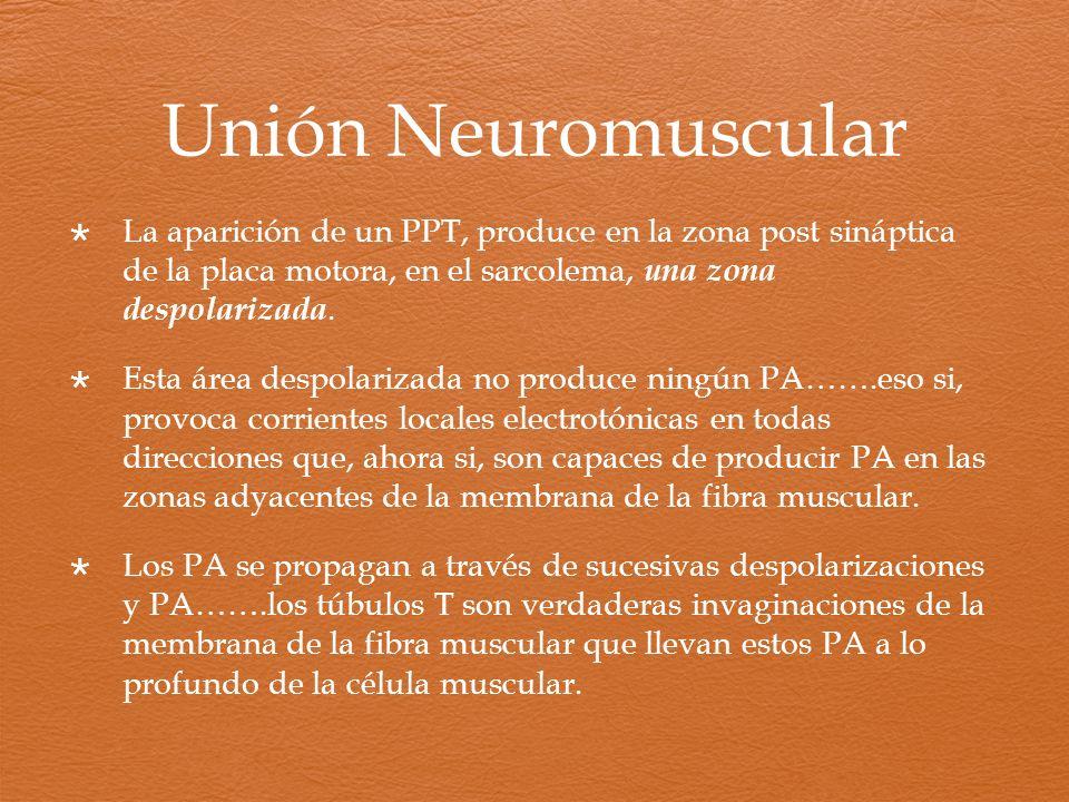 Unión Neuromuscular La aparición de un PPT, produce en la zona post sináptica de la placa motora, en el sarcolema, una zona despolarizada.