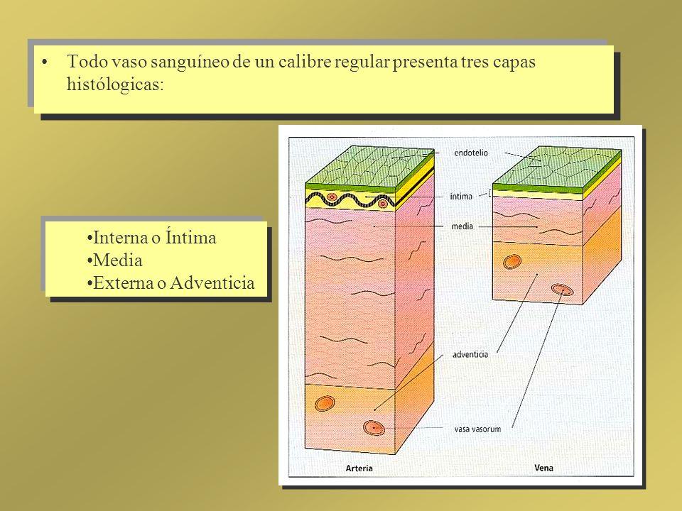 Todo vaso sanguíneo de un calibre regular presenta tres capas histólogicas:
