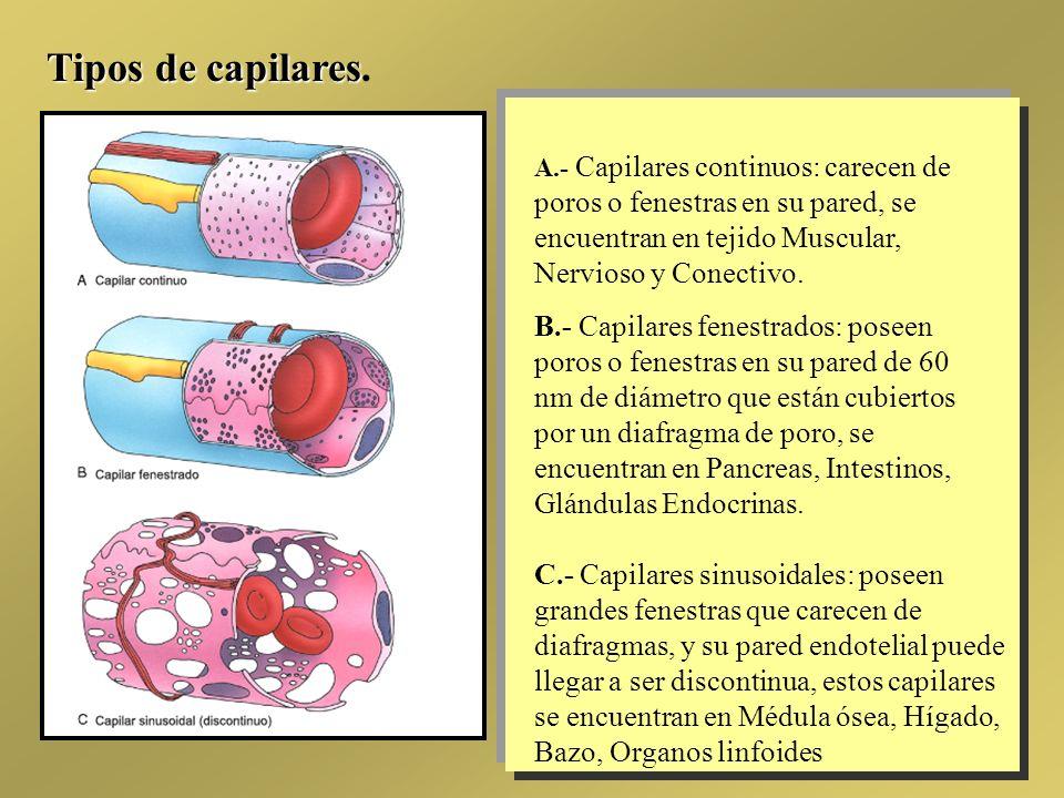 Tipos de capilares. A.- Capilares continuos: carecen de poros o fenestras en su pared, se encuentran en tejido Muscular, Nervioso y Conectivo.