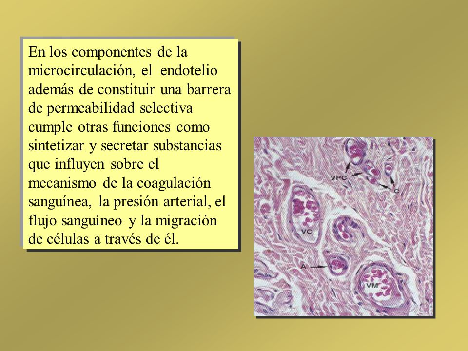 En los componentes de la microcirculación, el endotelio además de constituir una barrera de permeabilidad selectiva cumple otras funciones como sintetizar y secretar substancias que influyen sobre el mecanismo de la coagulación sanguínea, la presión arterial, el flujo sanguíneo y la migración de células a través de él.