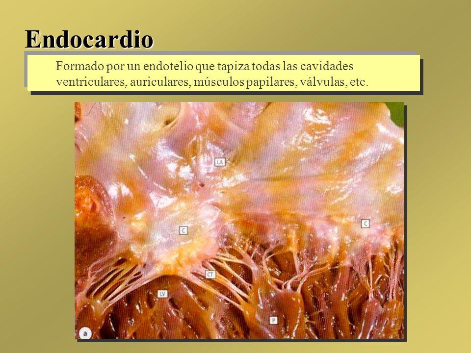 Endocardio Formado por un endotelio que tapiza todas las cavidades ventriculares, auriculares, músculos papilares, válvulas, etc.