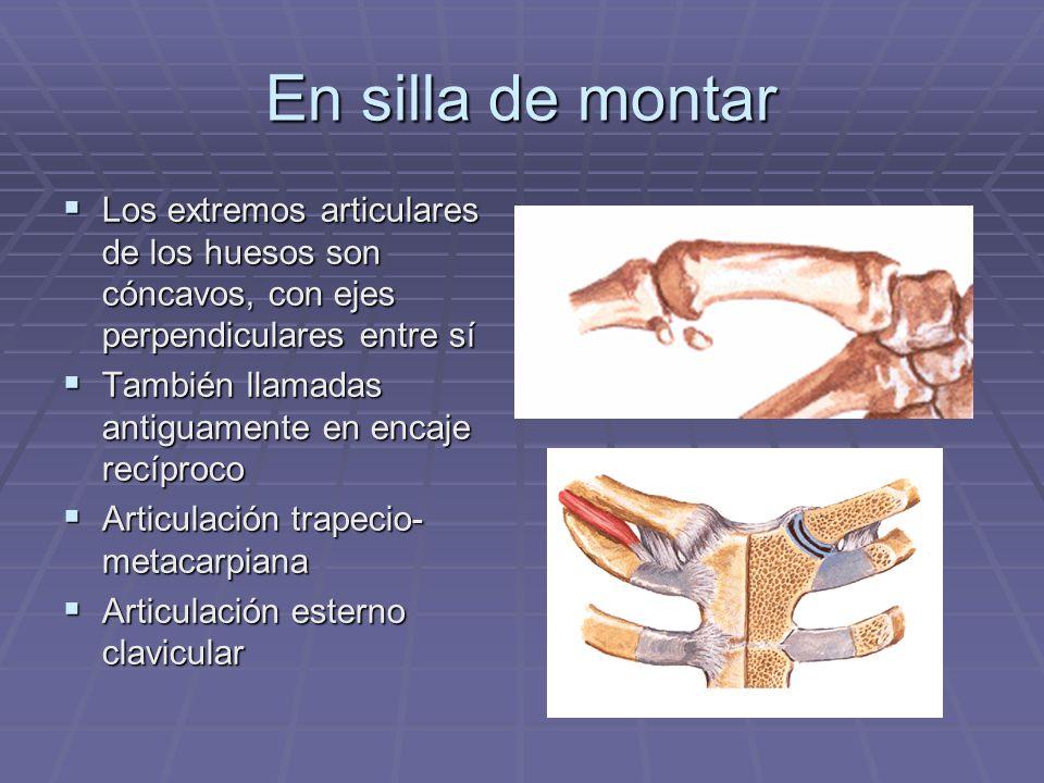 En silla de montarLos extremos articulares de los huesos son cóncavos, con ejes perpendiculares entre sí.