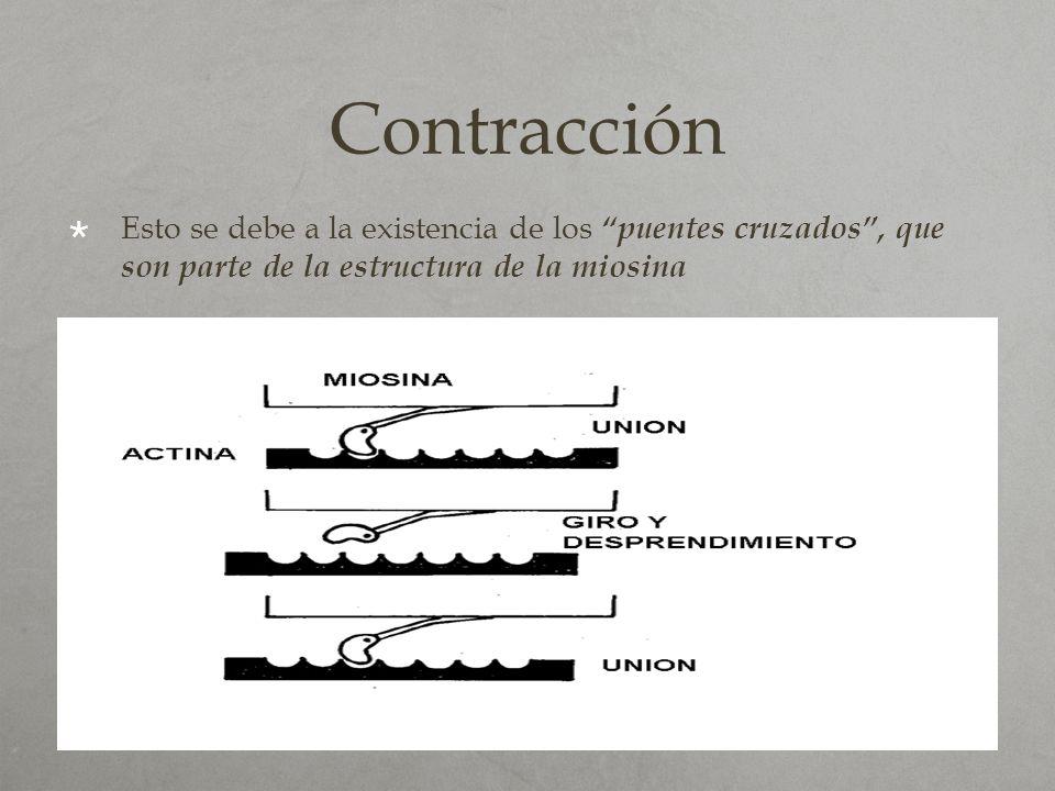 Contracción Esto se debe a la existencia de los puentes cruzados , que son parte de la estructura de la miosina.