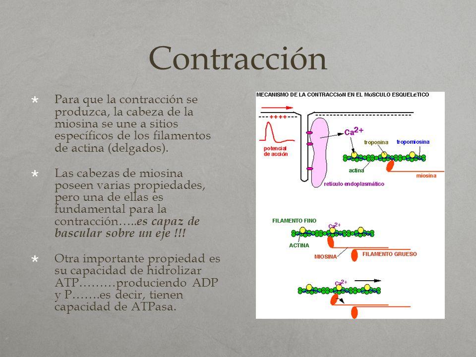 Contracción Para que la contracción se produzca, la cabeza de la miosina se une a sitios específicos de los filamentos de actina (delgados).
