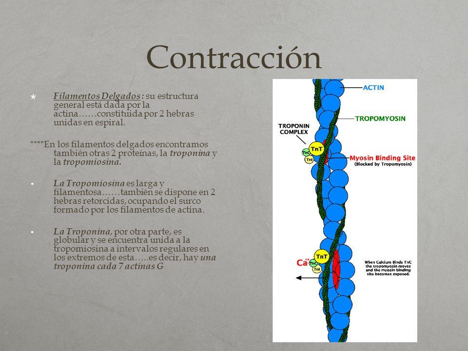 Contracción Filamentos Delgados : su estructura general está dada por la actina……constituida por 2 hebras unidas en espiral.