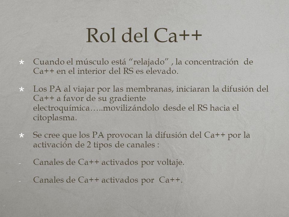 Rol del Ca++ Cuando el músculo está relajado , la concentración de Ca++ en el interior del RS es elevado.