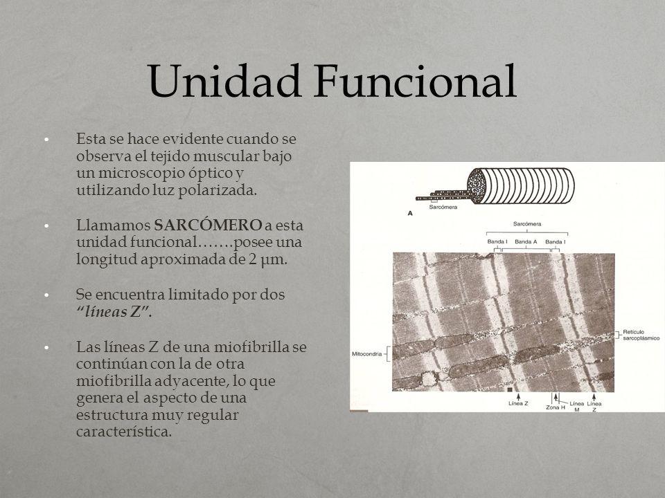 Unidad Funcional Esta se hace evidente cuando se observa el tejido muscular bajo un microscopio óptico y utilizando luz polarizada.