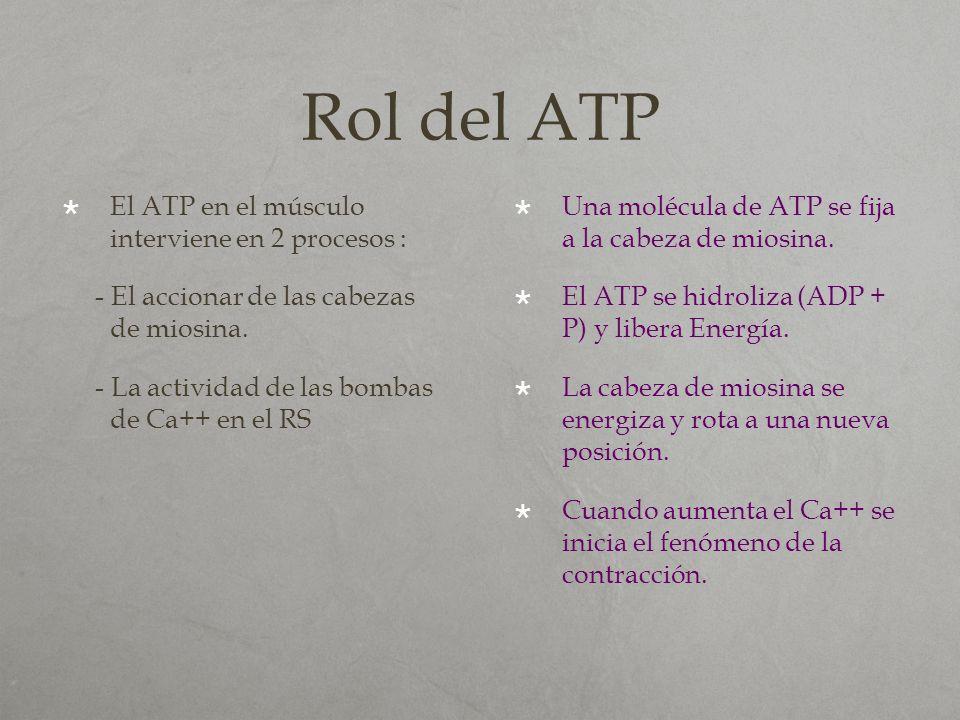 Rol del ATP El ATP en el músculo interviene en 2 procesos :
