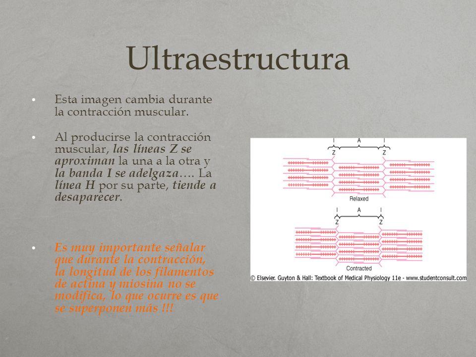 Ultraestructura Esta imagen cambia durante la contracción muscular.