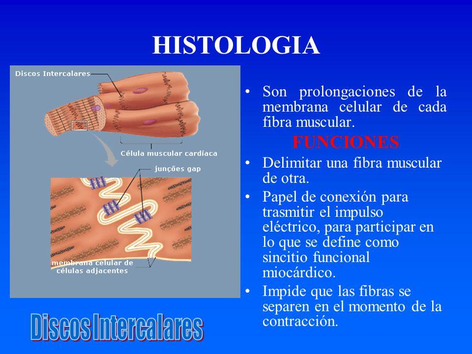 HISTOLOGIASon prolongaciones de la membrana celular de cada fibra muscular. FUNCIONES. Delimitar una fibra muscular de otra.
