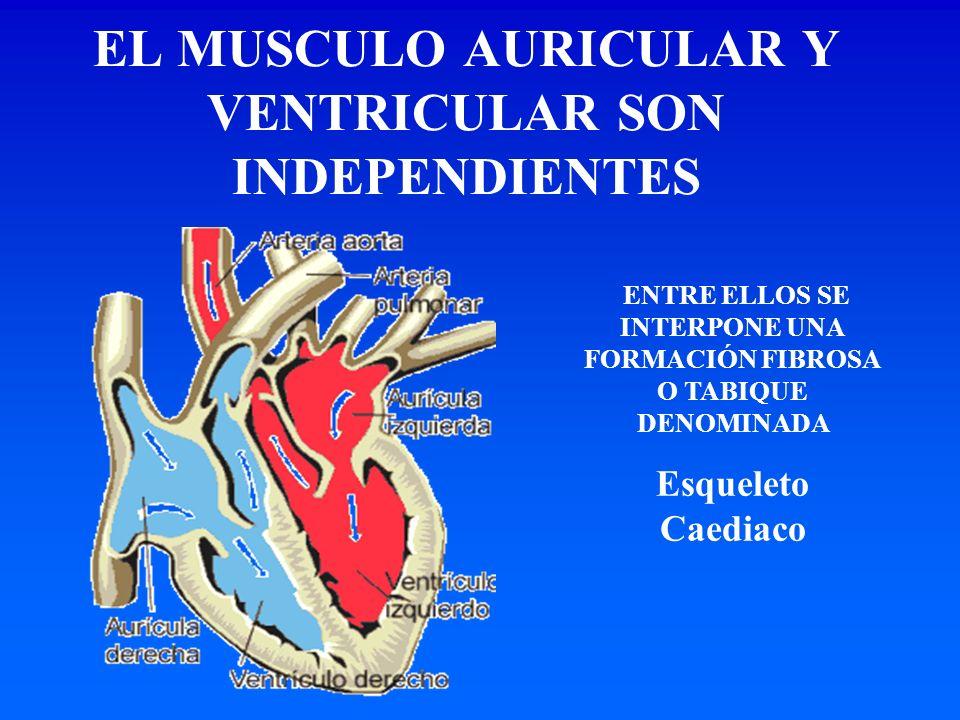 EL MUSCULO AURICULAR Y VENTRICULAR SON INDEPENDIENTES