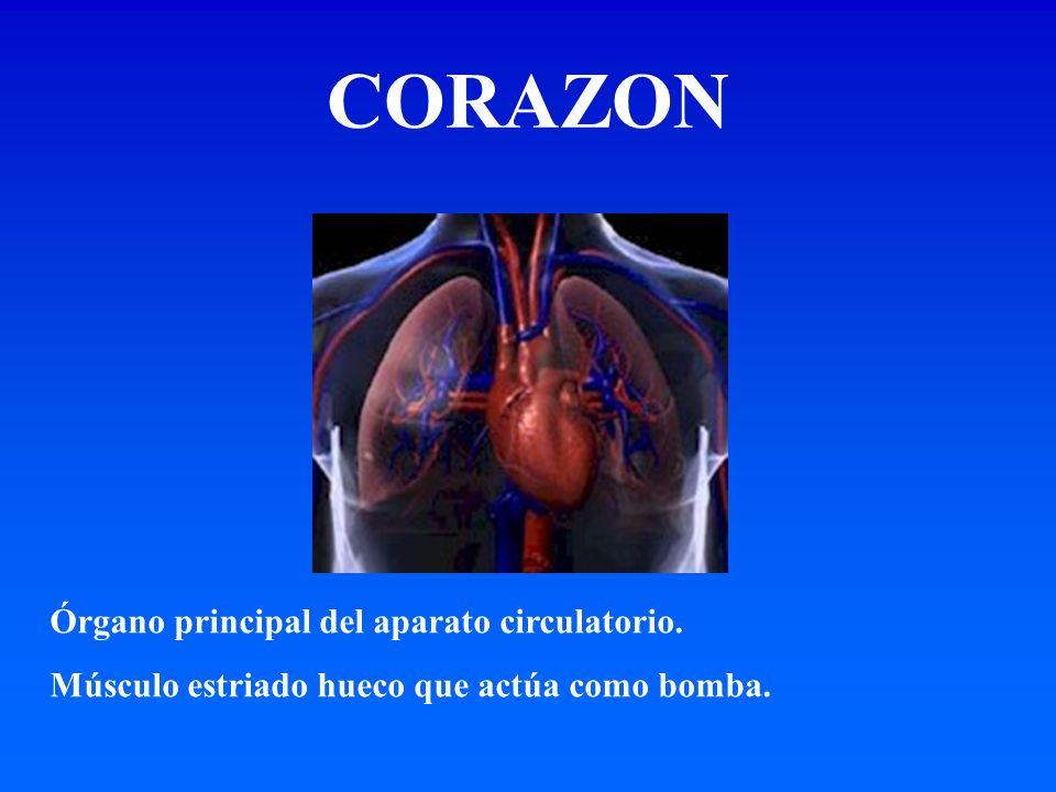 CORAZON Órgano principal del aparato circulatorio.