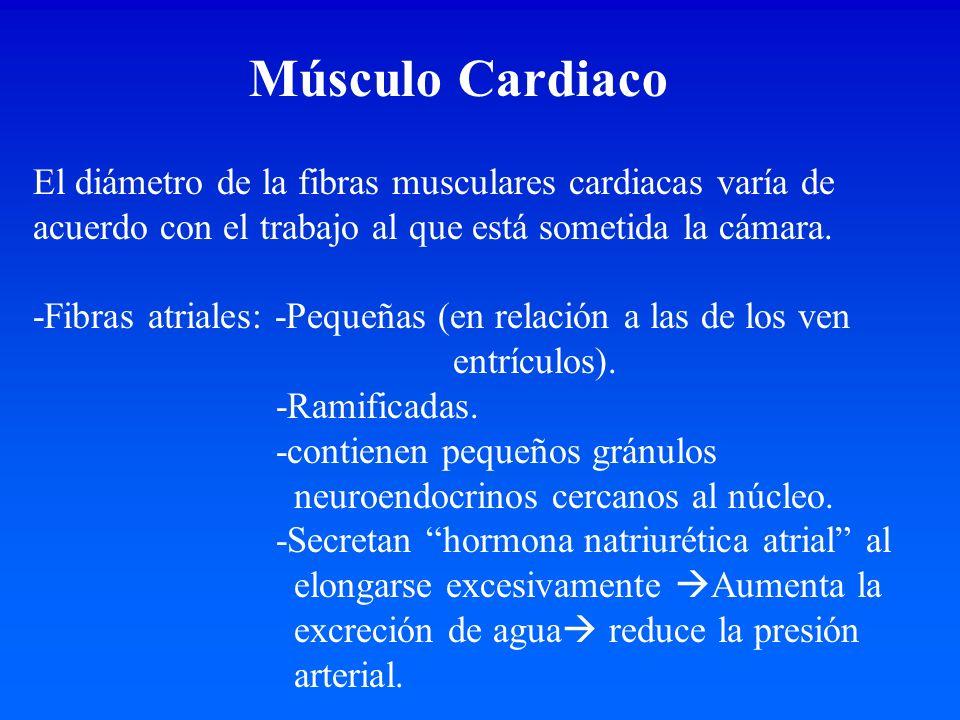 Músculo Cardiaco El diámetro de la fibras musculares cardiacas varía de acuerdo con el trabajo al que está sometida la cámara.