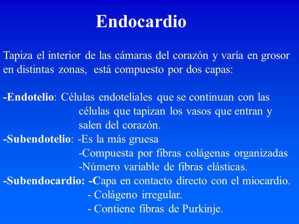Endocardio Tapiza el interior de las cámaras del corazón y varía en grosor en distintas zonas, está compuesto por dos capas: