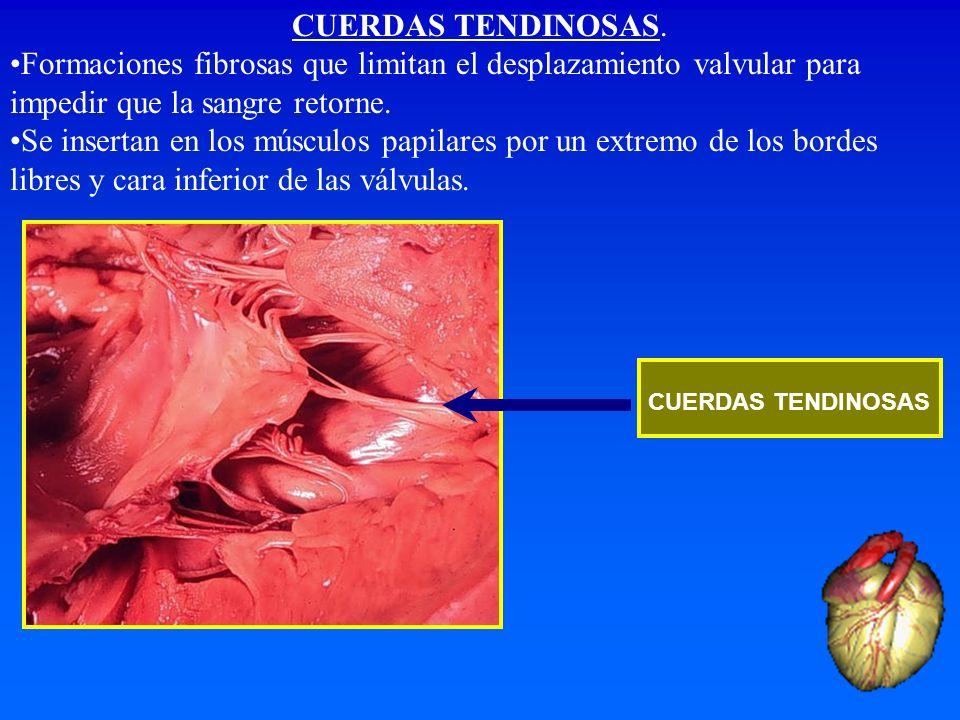 CUERDAS TENDINOSAS.Formaciones fibrosas que limitan el desplazamiento valvular para impedir que la sangre retorne.