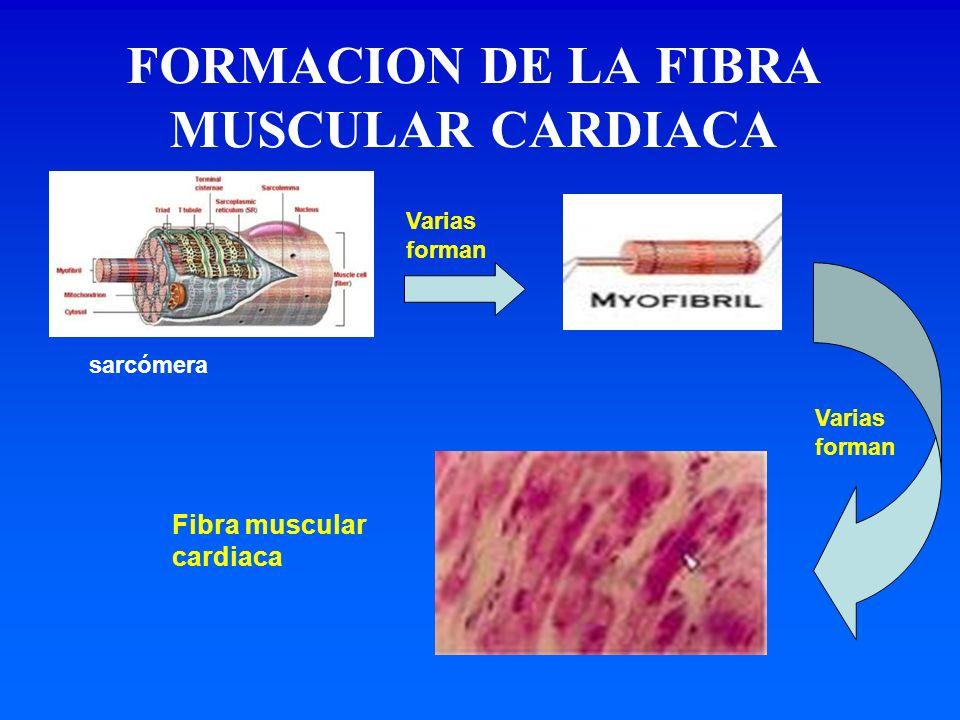 FORMACION DE LA FIBRA MUSCULAR CARDIACA
