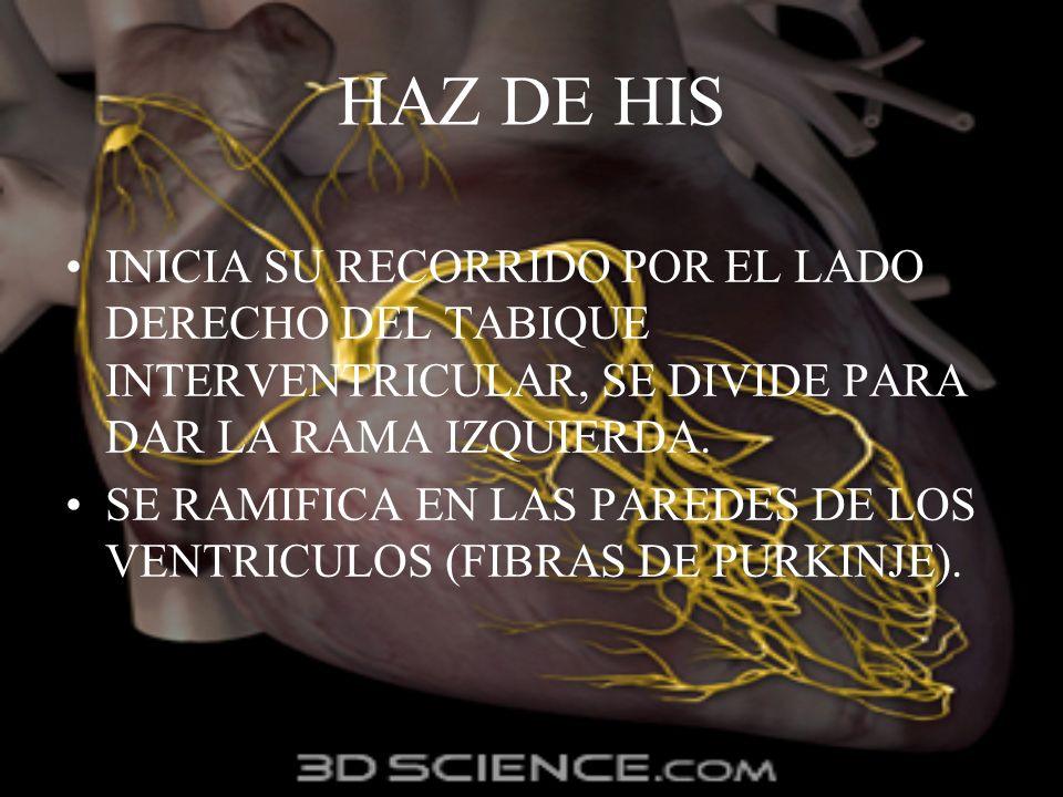 HAZ DE HIS INICIA SU RECORRIDO POR EL LADO DERECHO DEL TABIQUE INTERVENTRICULAR, SE DIVIDE PARA DAR LA RAMA IZQUIERDA.