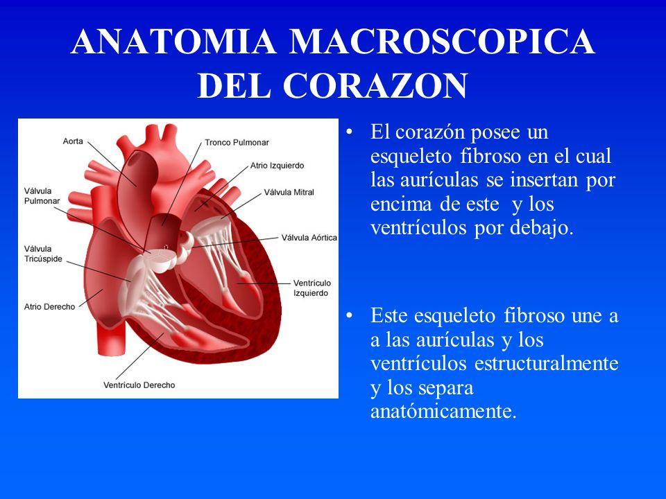 ANATOMIA MACROSCOPICA DEL CORAZON