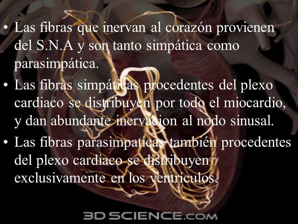 Las fibras que inervan al corazón provienen del S. N