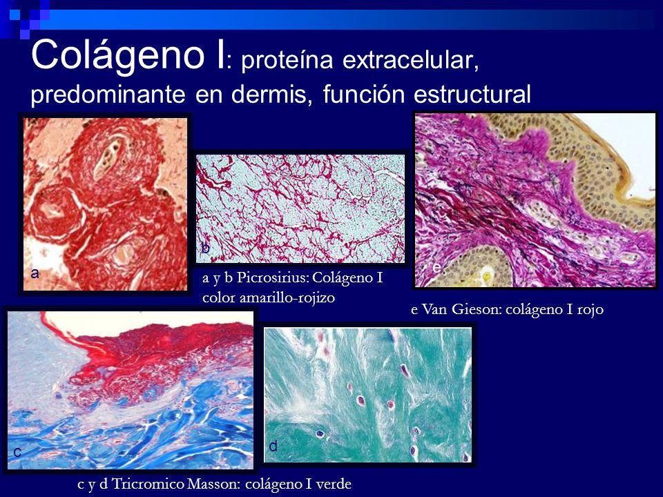 Colágeno I: proteína extracelular, predominante en dermis, función estructural