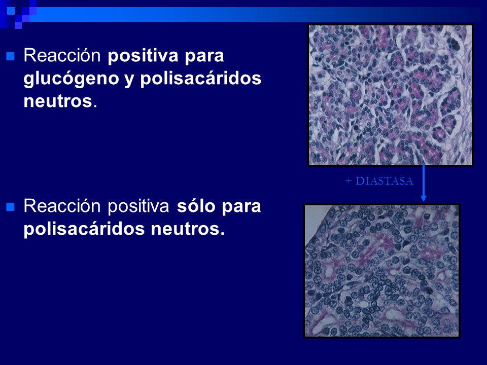 Reacción positiva para glucógeno y polisacáridos neutros.