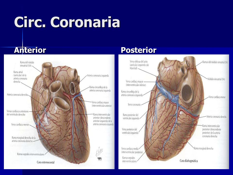 Circ. Coronaria Anterior Posterior