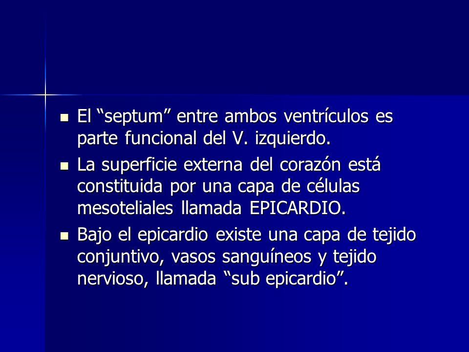 El septum entre ambos ventrículos es parte funcional del V. izquierdo.