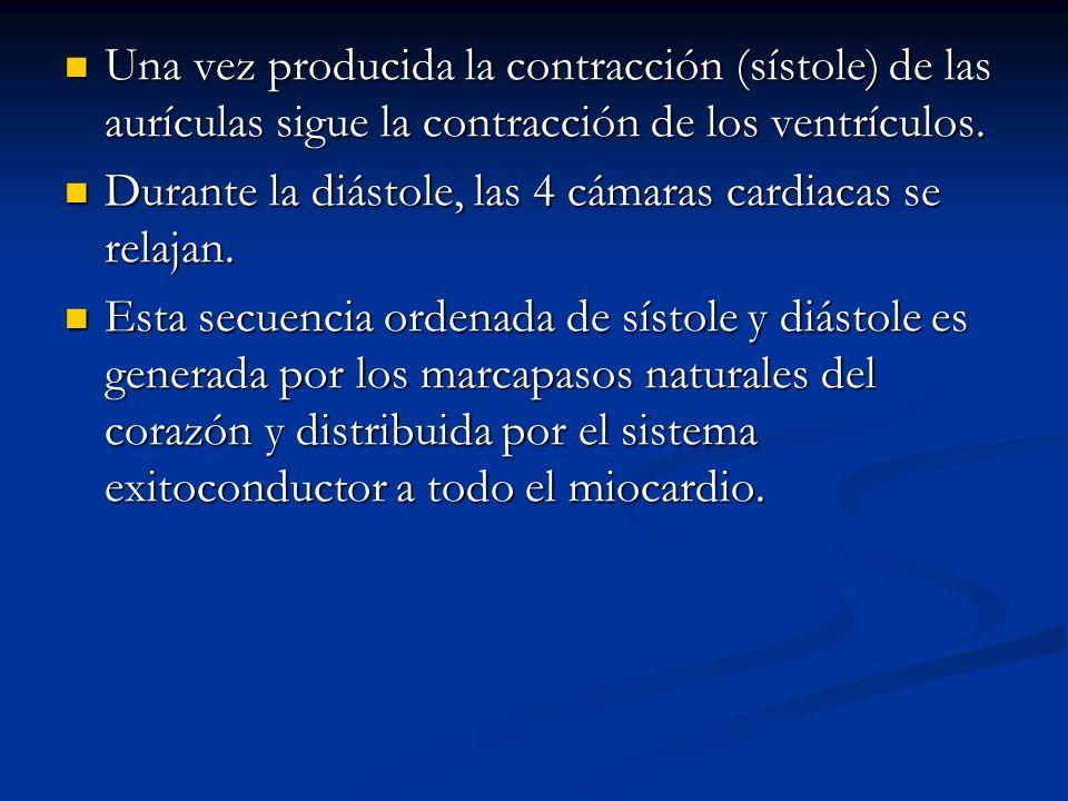 Una vez producida la contracción (sístole) de las aurículas sigue la contracción de los ventrículos.