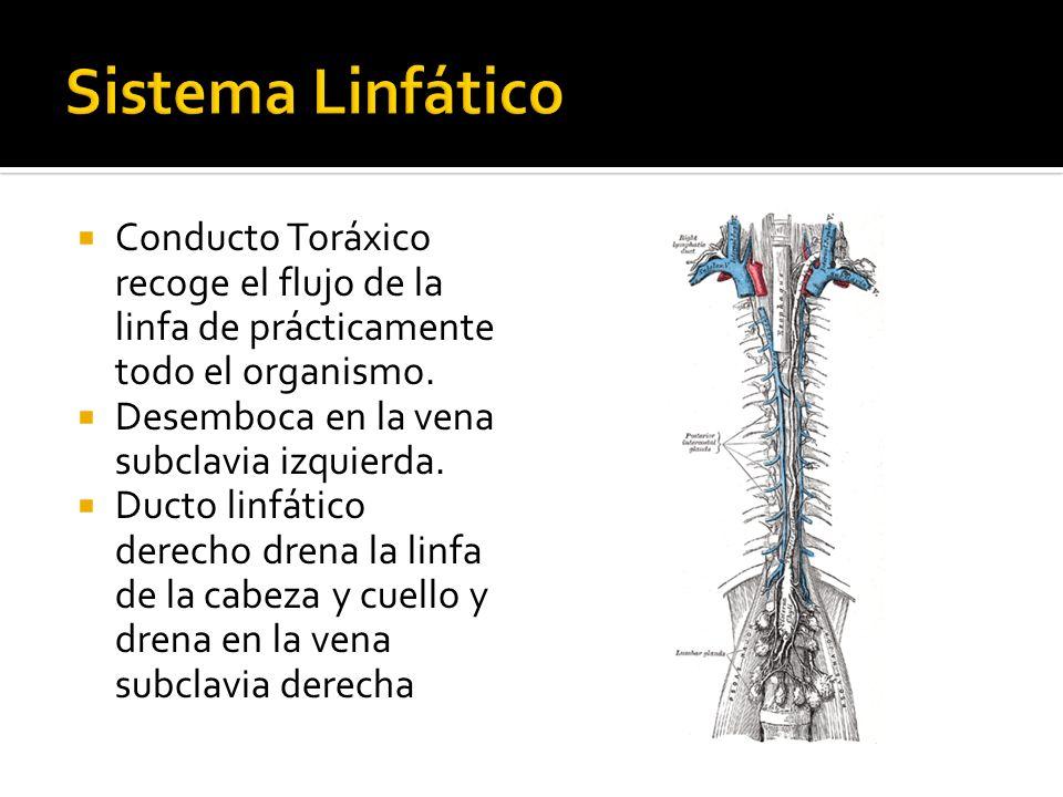 Sistema Linfático Conducto Toráxico recoge el flujo de la linfa de prácticamente todo el organismo.