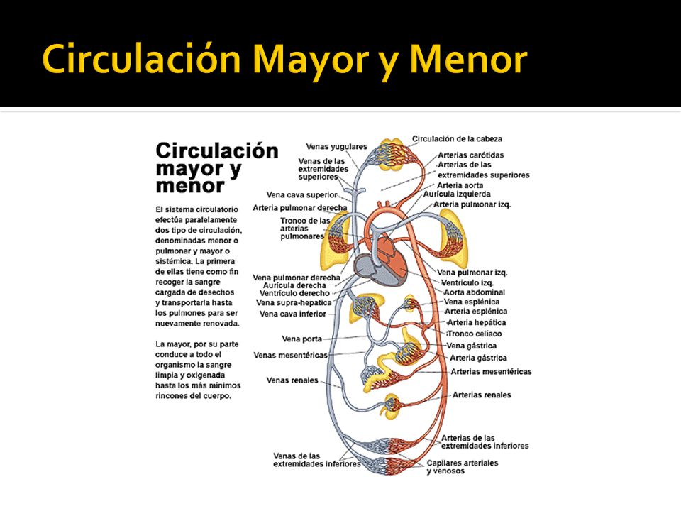 Circulación Mayor y Menor