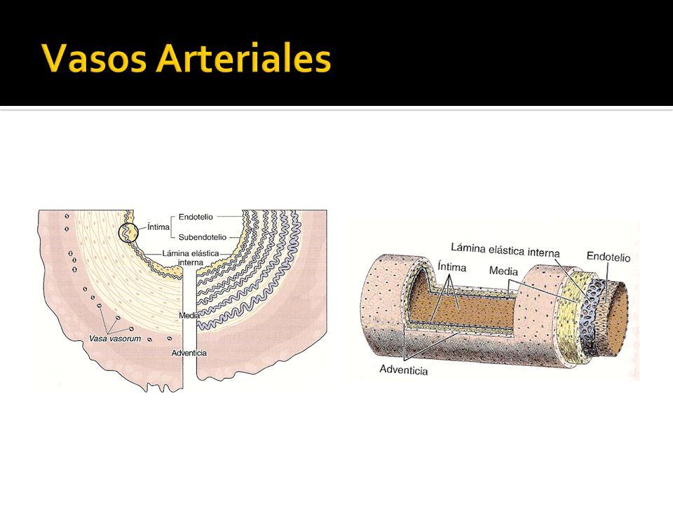 Vasos Arteriales