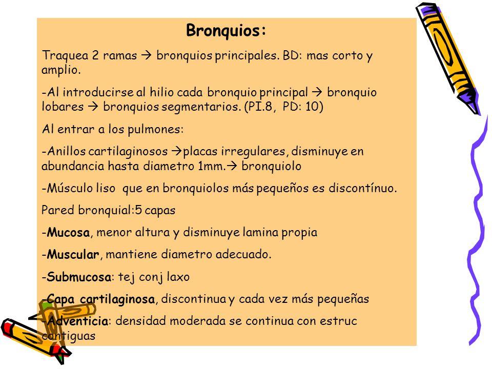 Bronquios: Traquea 2 ramas  bronquios principales. BD: mas corto y amplio.