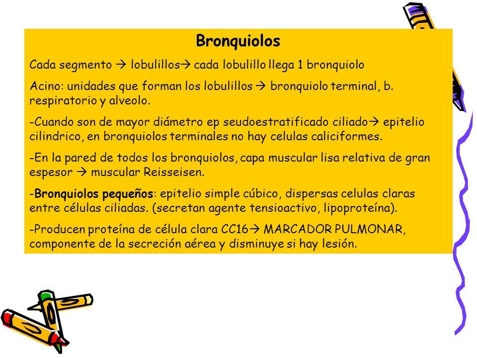 Bronquiolos Cada segmento  lobulillos cada lobulillo llega 1 bronquiolo.