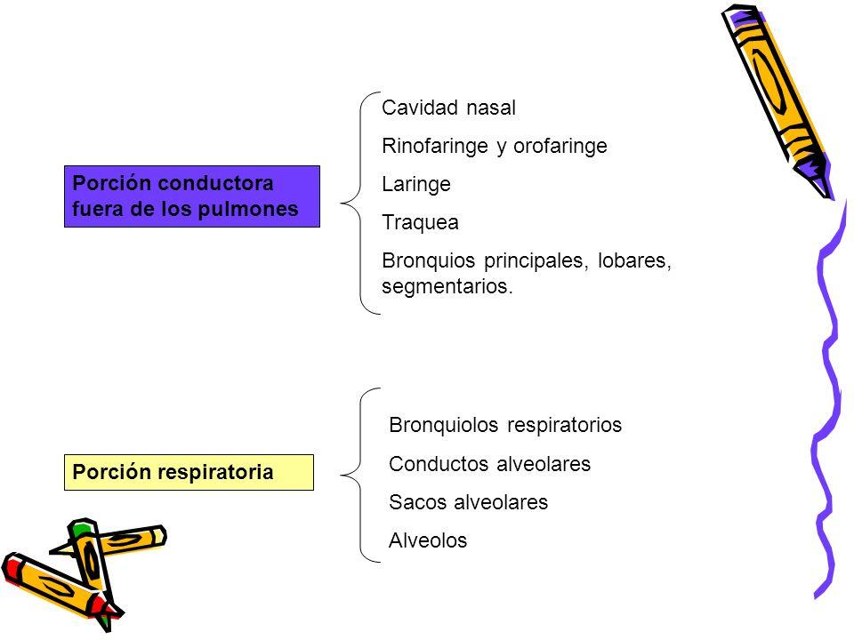 Cavidad nasal Rinofaringe y orofaringe. Laringe. Traquea. Bronquios principales, lobares, segmentarios.
